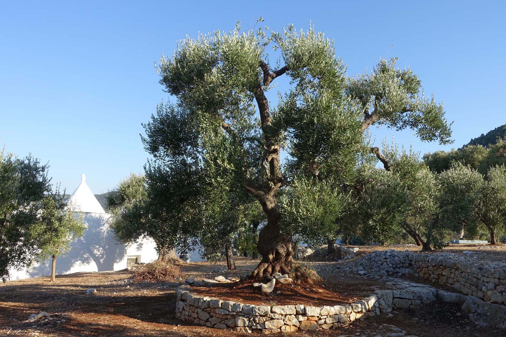 Garten_Olive